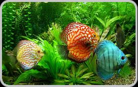 Acquariologia pesci tropicale dolce e marino coralli for Pesci tropicali acqua dolce